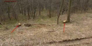 VIDEO Furt de lemne din aria protejata Cheile Dobrogei. Un individ a fost filmat cand taia copacii cu drujba