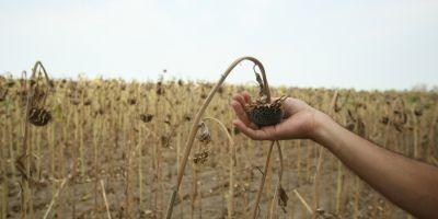 HARTA SECETEI Uscaciunea pamantului a adus culturile agricole la cota de avarie