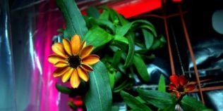 Premiera in spatiu: Prima planta ce a inflorit pe Statia Spatiala Internationala