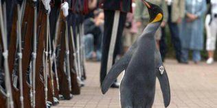 VIDEO Pinguinul general in armata norvegiana. A avansat in grad mai incet decat Oprea