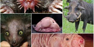 Animale urate si bizare. Cum arata pestele gelatinos, una dintre cele mai inestetice creaturi ale Terrei