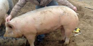 Cum afli greutatea porcului, fara sa il cantaresti, cu ajutorul unei rulete si al unei formule simple de calcul