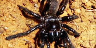 Cel mai batran paianjen a murit la 43 de ani din cauza unei viespi